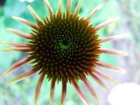 Young coneflower