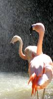 Flamingos in the Shower