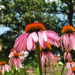 """Purple coneflowers"" by NaturesImpactPhotography"