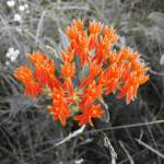 """Butterfly weed"" by NaturesImpactPhotography"