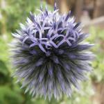 """Globe Thistle"" by mikepdx"