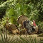 """Wild Turkeys of Ocala"" by spadecaller"