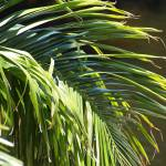 """Close-up of a Palm Frond"" by yourpictureshop"