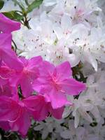 Pink and white azaleas