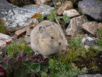 Mountain Pika