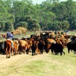 """Cattlework"" by SavingFLorida"