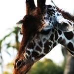 """""""Giraffen"""" by aviaperture"""