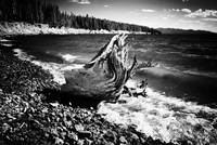 Tree on the Shore