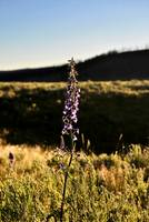 Larkspur in Yellowstone
