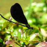 """Ebony jewelwing"" by NaturesImpactPhotography"