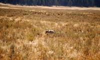 Coyote in Hayden Valley - Yellowstone