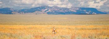 Pronghorn Antelope in Grand Teton National Park