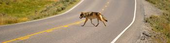 Canyon Wolf Crossing the Road - Yellowstone