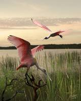 The Spoonbills of Lake Saint George