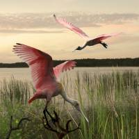 """The Spoonbills of Saint George Lake"" by spadecaller"