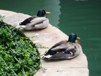 Ducks settling near Riverwalk in San Antonio, TX