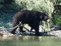 Oregon Bear