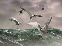 Arctic Terns at Sea