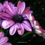 """""""Dew Drop Daisy"""" by bill_kerr"""