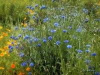 Bachelor's Meadow