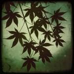 """Japanese Maple Leaves"" by mforstater"
