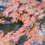 """Red Dragon (Cave Creek Maple Leaves)"" by MichaelStephenWills"