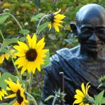 """Sunflower Gandhi"" by robvena"