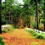 """""""A Path to the Pine Forest"""" by RickTodaro"""