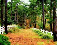 A Path to the Pine Forest
