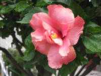 Single Pink Hibiscus 1