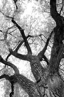 Old Cottonwood in Black and White
