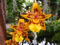 Yellow and Red Speckled Orchid