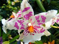 White and Pink Speckled Orchid