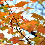 """Maple Brushstrokes"" by sportsmosaic"