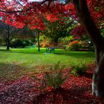"""Japanese Maple"" by DGuindon"