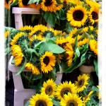 """Amsterdam Sunflowers"" by jbjoani2"