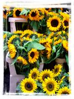 Amsterdam Sunflowers