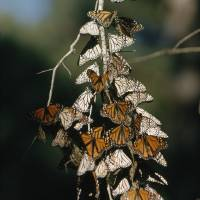 Monarch Branch 2 by National Geographic