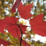 """red leaves"" by mkphotopdx"