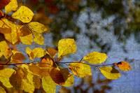Autumn Foliage 2