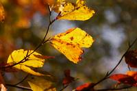 Autumn Foliage 1