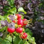 """""""Red Berries"""" by SueLeonard"""