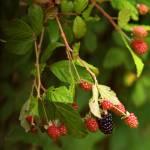 """""""Wild Blackberries"""" by LMixedup"""