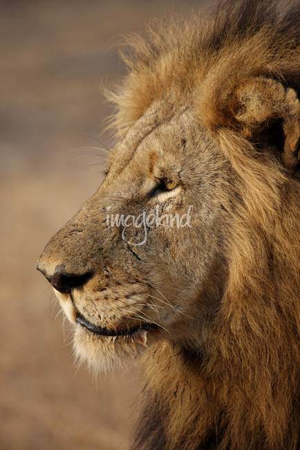 Roaring Lion Side Profile