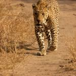 """Male Leopard - Tjellahana"" by malcolmbowling"