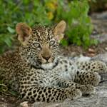 """Leopard Cub - Son of the Jakkalsdraai Female"" by malcolmbowling"