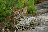 Leopard Cub - Son of the Jakkalsdraai Female