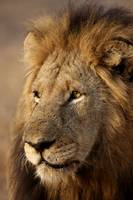 Lion - Portrait