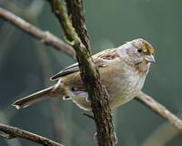 Golden Crowned Sparrow, Immature