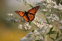 Migrating Monarch